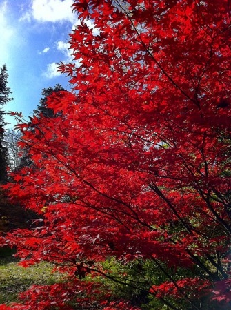 Acer at Batsford Arboretum