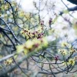 Hamamelis intermedia