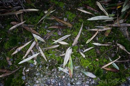 olive tree leaves on ground