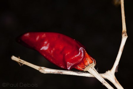 unharvested red chilli pepper