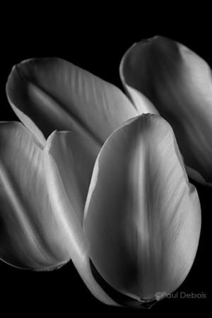 Tulip petals