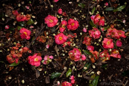 Kew Gardens - Camelia japonica 'cardinal'