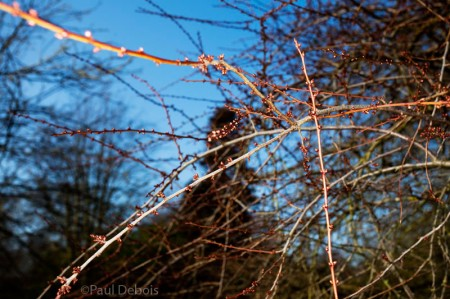 Kew Gardens - Prunus cocomilia or 'Naples Plum'
