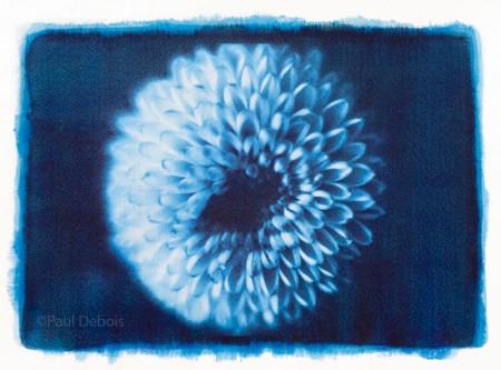chrysanthemum - gum bichromate print