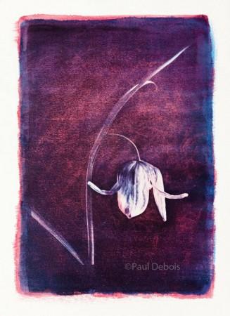 fritillaria meleagris - gum bichromate print
