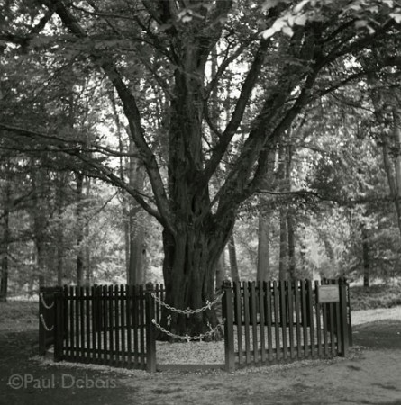 The Last Tree, Delville Wood, Somme Valley