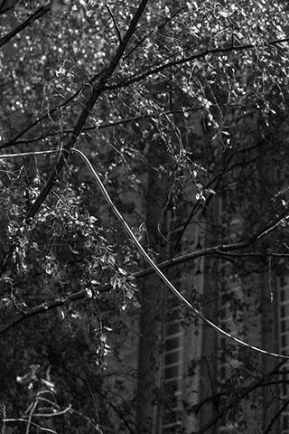 Silver birch trees outside Tate Modern