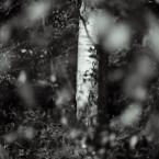 Gunnersbury Park, Silver birch