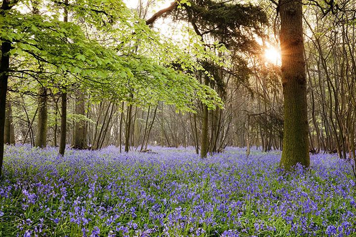 Bluebell wood, Suffolk