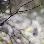bare tree in spring with soft focus background