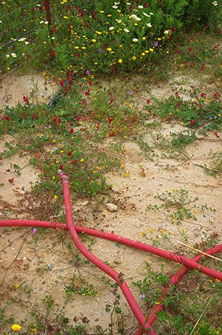 Crimson clover Trifolium incarnatum