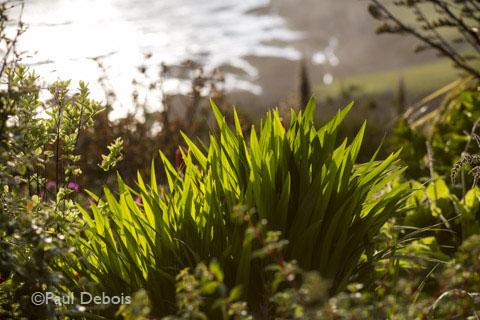Crocosmia leaves in Foamlea Gardens, Mortenhoe, Devon