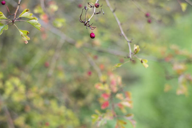 Red berries of the Common hawthorn